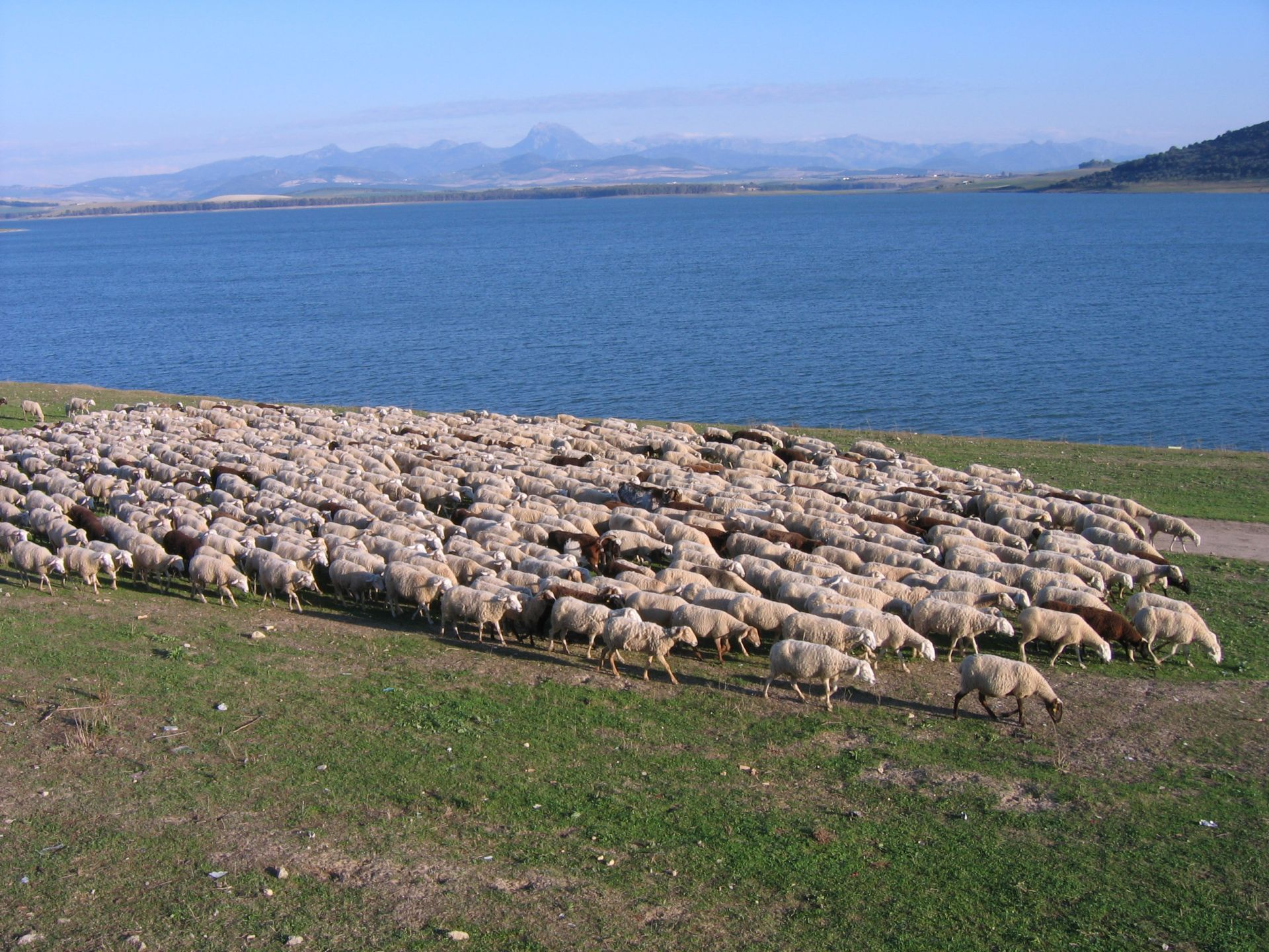 sheep,pastor,flock,sheep,animal,water,horizon,landscape,mountain,walk,path