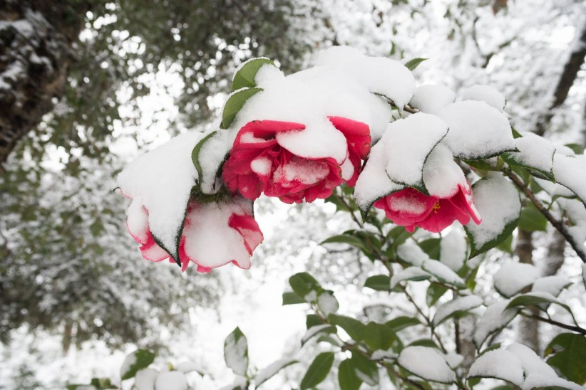 maria, christmas, nature, flowers, snow, may, roses, red
